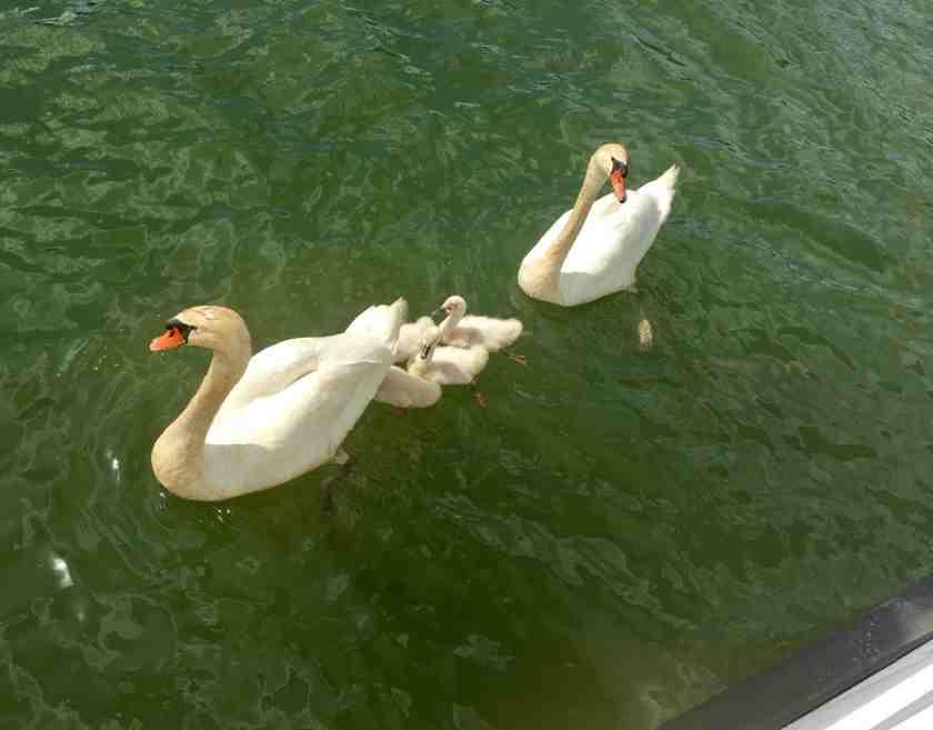 Swan 2 June 9