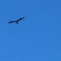Blurry Condor shot.